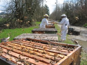 "Beekeepers make bee hive ""splits"" at Bruce Bowen's Bee Yard"